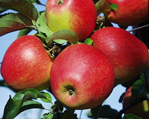 Apfel Pinova Busch im 7,5 l Topf, 60 cm Stammhöhe