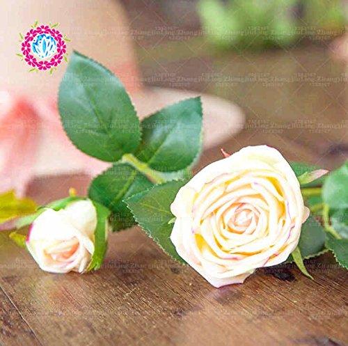 100pcs coloré Graines Rose avec bord rouge, couleur rare jardin populaire Graines de fleurs vivaces Bush ou Bonsai Fleur 6