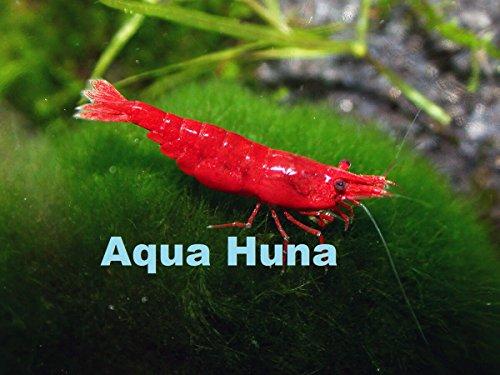 Aqua Huna Red Cherry Shrimp (Grade A) - 10 Pack