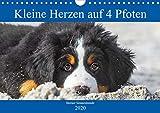 Kleine Herzen auf 4 Pfoten - Berner Sennenhunde (Wandkalender 2020 DIN A4 quer)