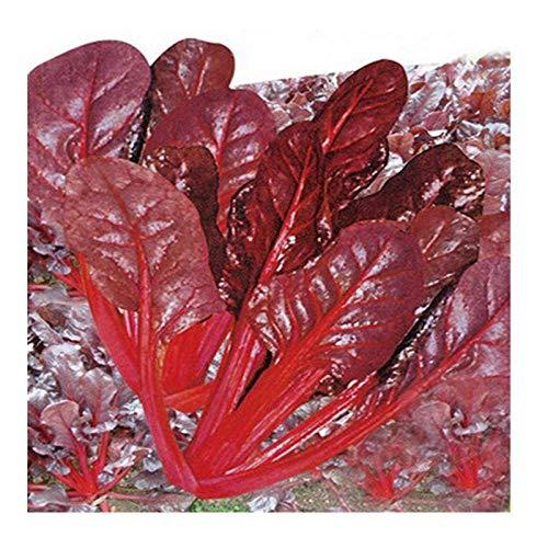 Semence de betterave à feuilles Légume Feuille rouge Tige rouge Graine de betterave à feuilles violettes Graine de légumes Pot comestible ornemental 300g
