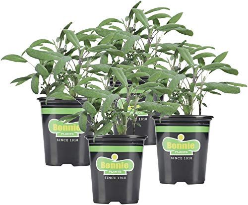 Bonnie Plants Garden Sage Live Herb Plants - 4 Pack, Easy to Grow, Non-Gmo,...