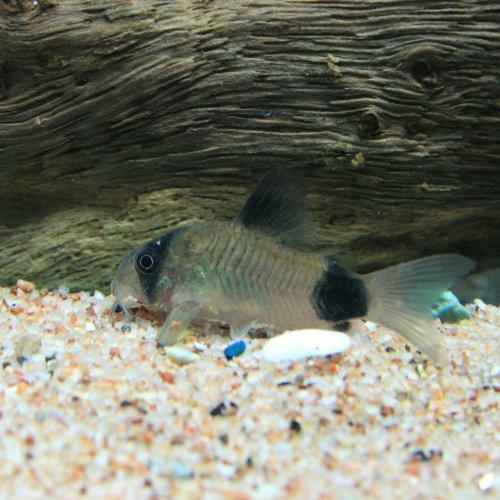 (熱帯魚)コリドラス・パンダ【ブリード】(約2cm)<3匹>[生体]