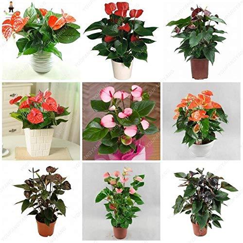 Shopvise 50Pcs Anthurium Graines de fleurs magnifiques Graines Fleurs Jardin Comme Jardin para intérieur Graines de Jardin Décoration: Jaune
