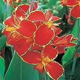 Canna tuber Plantas de decoración del hogar Bonitas Jardín de casa-3 Bulbos,A