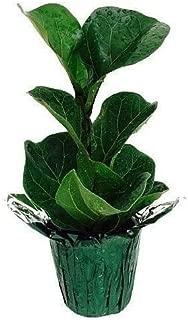 SS0144 Plant Fiddleleaf Fig Tree Ficus Great Indoor Tree 4