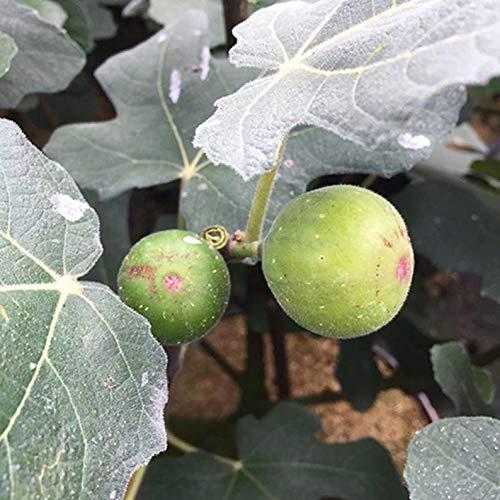 "UEYR Fig Ficus carica 'Chicago Hardy' 4"" Pot Starter"