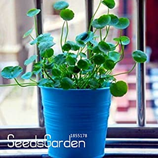 New Arrival!Pilea seeds,DIY potted plants,indoor/outdoor pot seed - 10 Pieces/lot,#PO9Q4A