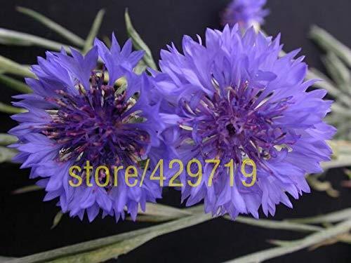 AGROBITS 200 pcs Cornflowers graines Allemagne & # 39; s graines de fleurs nationales de bonsaïs de fleurs pour la décoration de jardin à la maison facile: 3 grandir