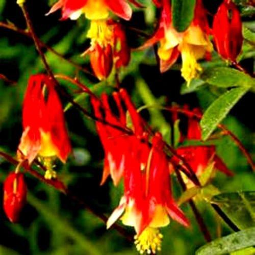 Red Hot Columbine sauvage! 25 GRAINES! Peigne. S/H! PLANT COLIBRI! Vivace