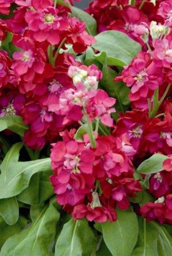 Heirloom 200 graines Matthiola Incana parfum plante Giroflée Nuit parfumée Rose 200 graines B2087