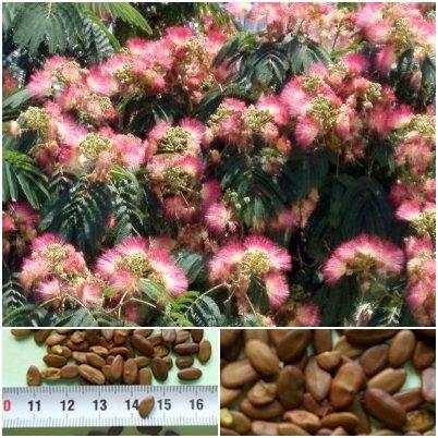 Seidenbaum - Albizia julibrissin - 50 Samen -Schlafbaum -