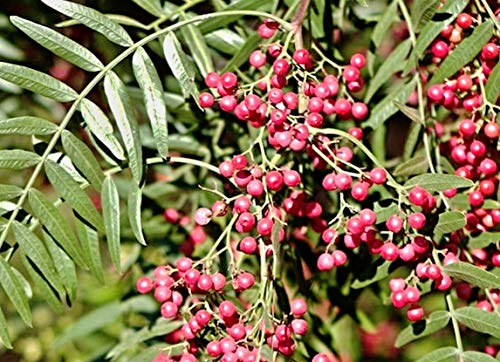 10 Peruanischer Pfefferbaum Samen, Schinus molle,