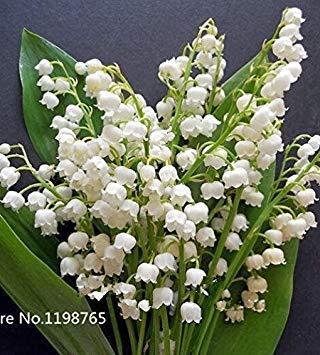 Potseed 100 pcs Muguet Graines de Fleurs, Bell Orchid Graines, l'arôme Riche, graines de Fleurs, si Mignon et Beau