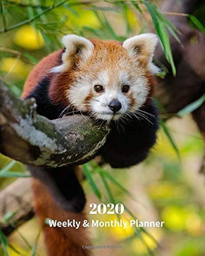 フォージ溢れんばかりの職業2020 Weekly and Monthly Planner: Baby Red Panda - Monthly Calendar with U.S./UK/ Canadian/Christian/Jewish/Muslim Holidays– Calendar in Review/Notes 8 x 10 in.-Wildlife Bears Nature