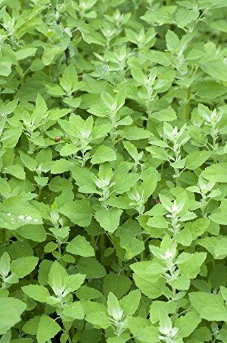 Gartenmelde Atriplex hortensis 200 Samen
