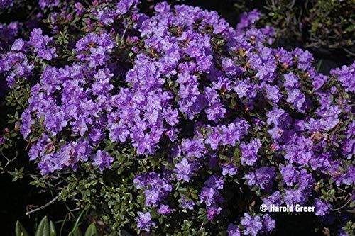 FERRY Bio-Saatgut Nicht nur Pflanzen: Rhododendron Ramapo - # 5 Container - lila Blüte - Hardy bis -25 F