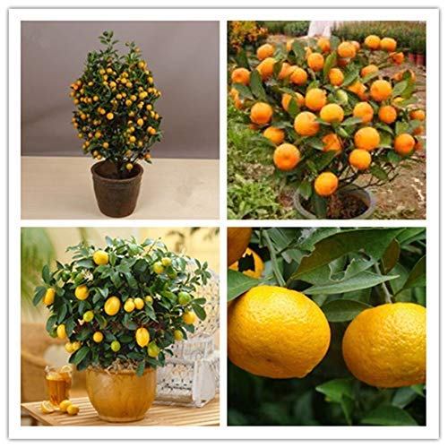 ShopMeeko GRAINES: 20pcs / sac d'orange BONSAĪ arbre orange bonsaïs bonsaïs de fruits organiques comme un arbre de Noël