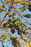 Catkins of Alder in Spring (Alnus Glutinosa) Journal: 150 page lined notebook/diary