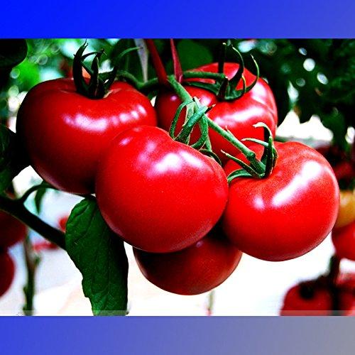(BBR * Ambizu *) Hybride rouge Big brillant tomate F1 fruits Graines, Paquet professionnel, 100 graines/Pack, Crisp doux Fragrant tomate