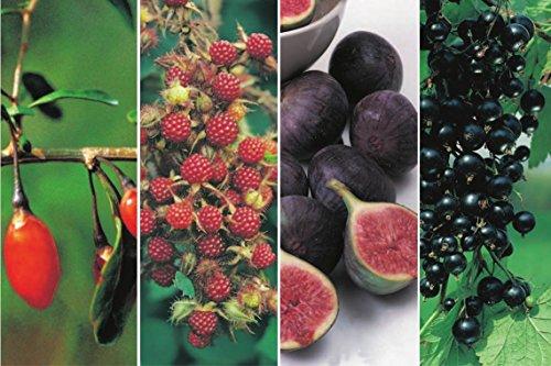 Exotische Beerenobst-Pflanzen - 4 verschiedene Sorten in einem Paket Goji-, Japanische-Wein-, Josta-Beeren & 1 x Feige
