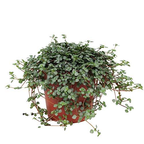 Pilea glauca | Kanonierblume Pflanze | Hängepflanze Echt | Höhe 10-15 cm | Topf-Ø 12 cm