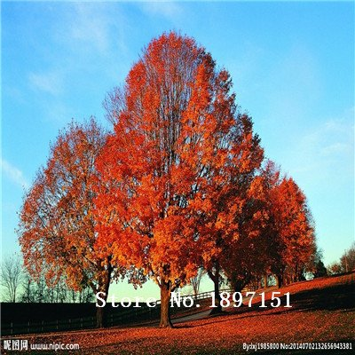 Big vente 50 Mini Beautiful Japanese Red Maple graines de fleurs Graines, DIY Bonsai * GRAINES MAPLE FRAIS * graines d'arbres