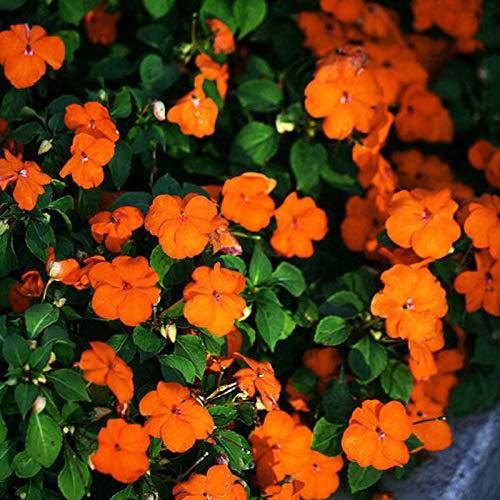 Benoon Impatiens Samen, Impatiens Samen Leicht Zu Pflanzen Bunte Pflanzen Gartenpflanzen Samen Für Den Hof Samen