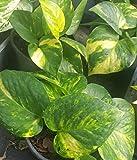 seedsown Ivy Golden Pothos Diable Epipremnum - 4' Pot - Maison Plante Intérieur & extérieur