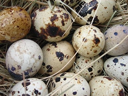 20 LARGE COTURNIX QUAIL HATCHING EGGS - HORMONE GMO FREE - HIGH HATCH RATE - FISHING PRODUCTS TEXAS