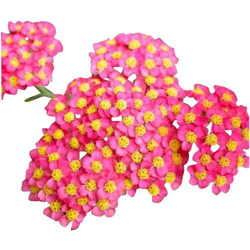 Red Yarrow - A Favorite Wildflower - 17,500 Seeds