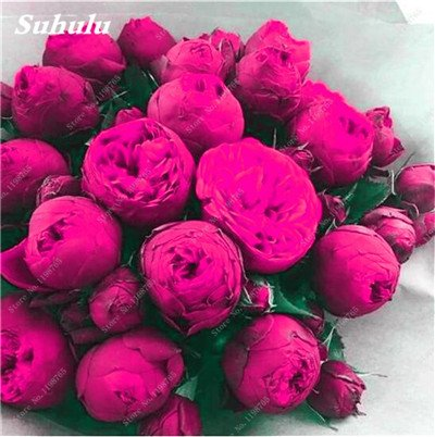 Chinese National Flower 5 graines Pcs Pivoine Plante en pot Paeonia suffruticosa Arbre Terrasse Cour Illuminez votre jardin personnel 17