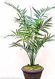 Semillas howea forsteriana Kentia palma Planta de interior o de las frondas elegantes estándar raro!