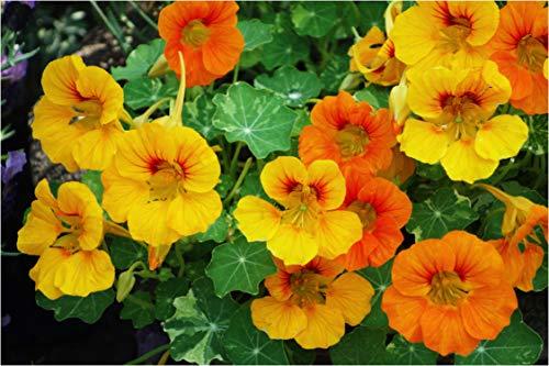 SemiSauvage - 15 semillas de capuchina enana – Flores Jardines Amie Huerto – Método ecológico