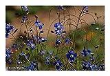 SANHOC Graines Paquet: Helioa coronopifolia - sunflax - 15 SeedsSEED