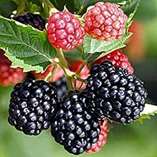 thornless raspberry bushes for sale