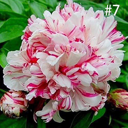 10 Stück Pfingstrosen Samen - Gartenblumen Bonsai-Pflanze Home Office Decor - 1# Größe S 7#