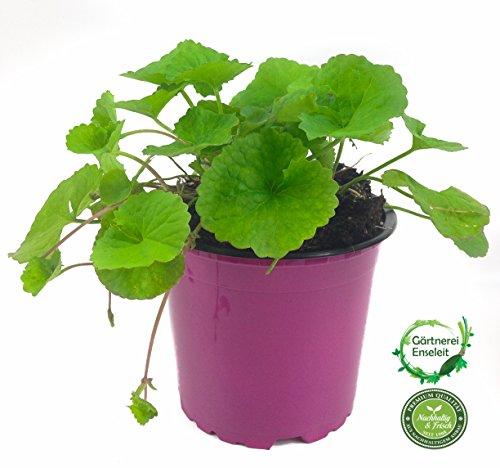 Gotu Kola Pflanze, Frische Kräuter Pflanze aus Nachhaltigem Anbau!