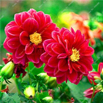 Double Dahlia Seed Mini Mary Fleurs Graines Bonsai Plante en pot bricolage jardin odorant fleur, croissance naturelle de haute qualité 50 Pcs 2