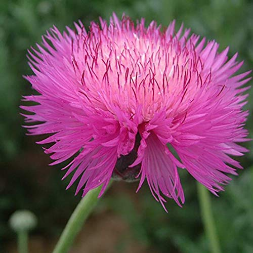 Semillas de flores de aciano Sweet Sultan Pink 50pcs Organic Amberboa Moschata Fragrant Fresh Plants Semillas para plantar jardín Bonsai al aire libre