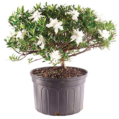 Brussel's Bonsai Live Gardenia Outdoor Bonsai Tree - 6 Years Old 10' to 14' Tall with Plastic Grower Pot, Large,