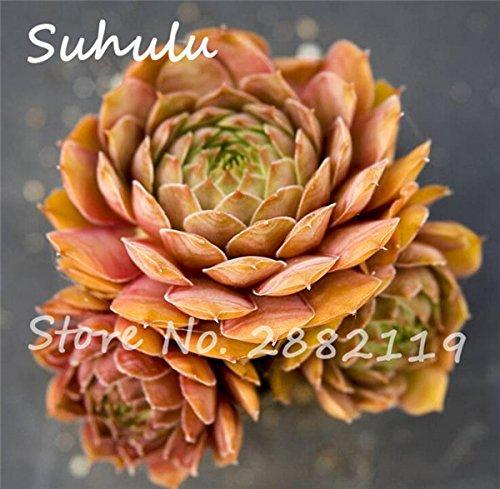 Pas cher 150 Pcs Mini Garden Succulentes Cactus Graines Variées Plantes vivaces Sempervivum Incroyable Maison Poireaux facile Live Forever 11 Cultivez
