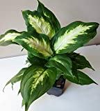 1 Dieffenbachia maculata Camille Dumb Cane Live Plant Ships in 3' Pot