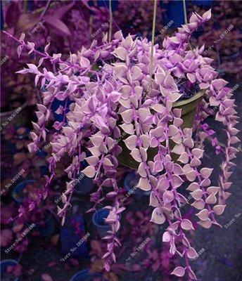 Coloré Hanging Parthenocissus tricuspidata semences vivaces herbes de fleurs Pot plantes anti-radiations des rayons ultraviolets 50 Pcs 6
