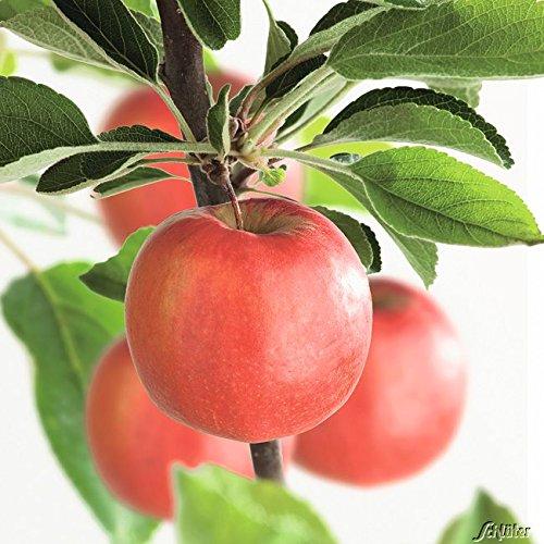 Apfel Braeburn - Malus - Winterhart - Fruchtreife September bis Oktober - Liefergröße circa 120cm als Containerpflanze