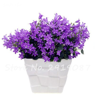 50 Pcs Campanula Graines rares Fleur Plante en pot Couleurs mélangées 95% Taux de bourgeonnement vivaces Plantes Bonsai Maison et Jardin 13