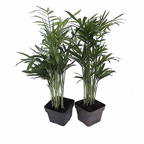 Victorian Parlor Palm 2 Plants - Chamaedorea - Indestructable - 3' Pots