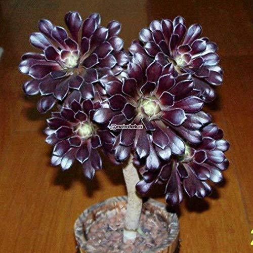 Portal Cool Schwarzes Aeonium Zwartkop & # 039; : Sukkulente Aeonium 'Zwartkop' Samen Bonsai Blumensamen Garten B98B