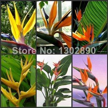 ¡Para estrenar! 50 piezas de 10 tipos de plantas en maceta cubierta Flores Strelitzia Reginae Semilla Semilla Paradiesvogel ave del paraíso de bricolaje Semilla