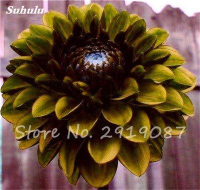 50 Pcs rares Graines Bonsai Dahlia (non Dahlia Bulbes) mixte en chinois Superbe fleurs Balcon Plante en pot Maison et jardin 14